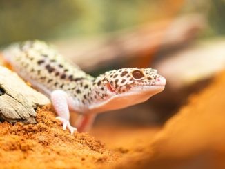 Leopardgecko Terrarium