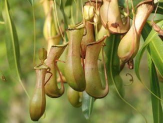 Fleischfressende Pflanzen terrarium
