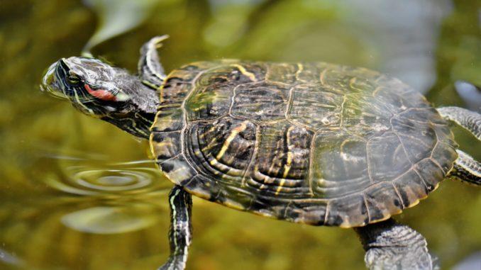 Wasserschildkröte Terrarium
